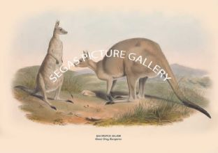 MACROPUS MAJOR -- Great Grey Kangaroo